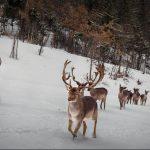 kozan.gr: Υπέροχες φωτογραφίες, με τα πανέμορφα ζαρκάδια, στο χιονισμένο πάρκο του Άγιου Παντελεήμονα, στο χωριό  Άγιος Δημήτριος Κοζάνης