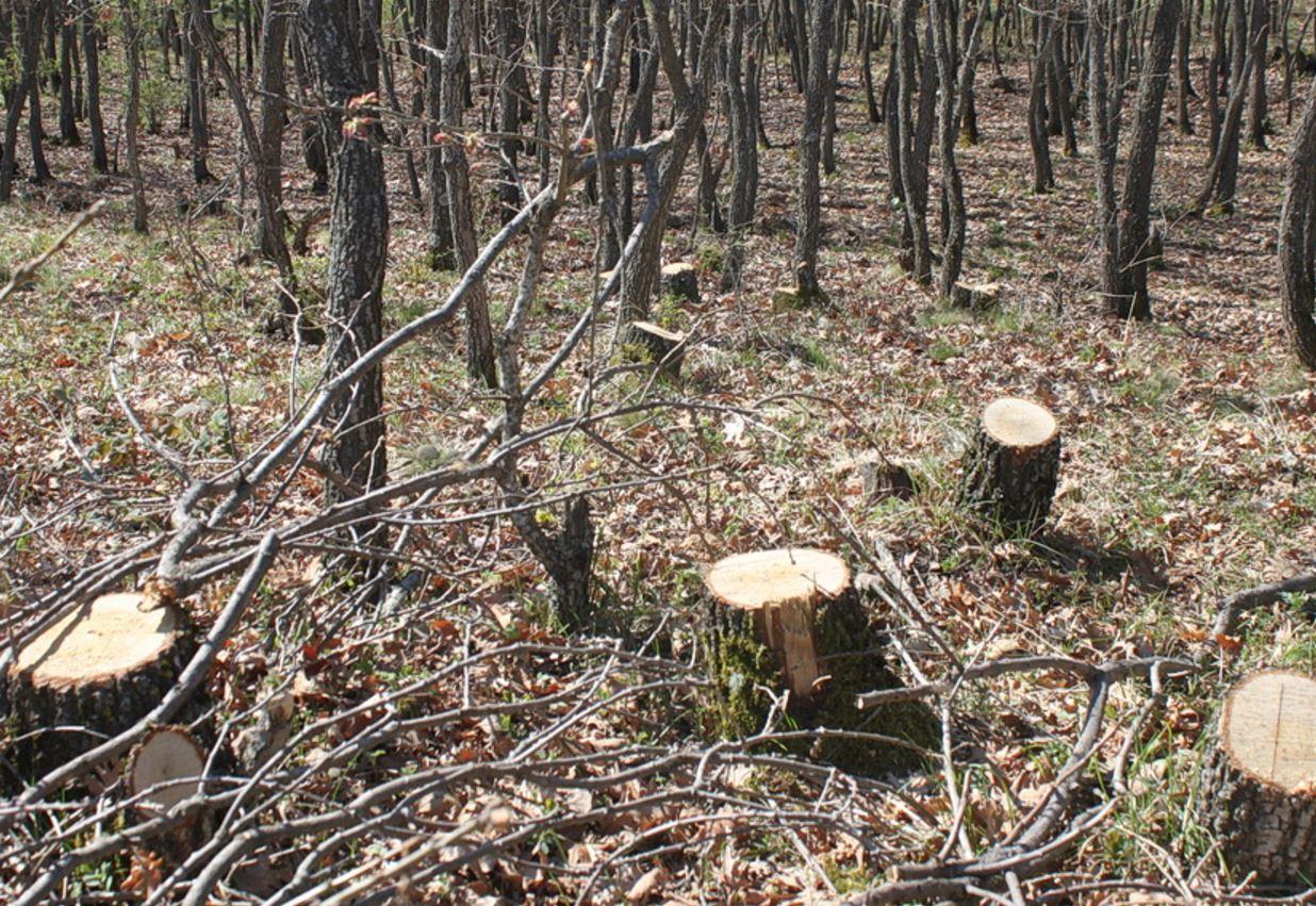 Ασυνείδητοι έκοψαν 40-50 δέντρα βελανιδιάς από δασύλλιο στο 2ο χλμ Μικροβάλτου – Λιβαδερού (Φωτογραφίες & Βίντεο)