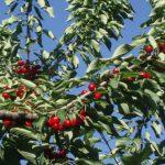 Εορδαία: Mειωμένη η παραγωγή στα πρώιμα και όψιμα κεράσια του Μηλοχωρίου