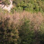 Τι συμβαίνει με τα πλατάνια στης «Κατιρίντς» το Λάκκο (Καμβούνια) και ξεραίνονται;