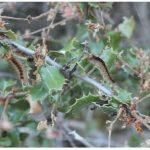 Κάμπιες κατατρώνε το πουρναρόδασος σε Ρύμνιο και Φρούριο Κοζάνης (Βίντεο – 10 Φωτογραφίες)
