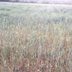 Πτολεμαΐδα: Η παρατεταμένη ανομβρία «έκαψε» τις σιτοκαλλιέργειες