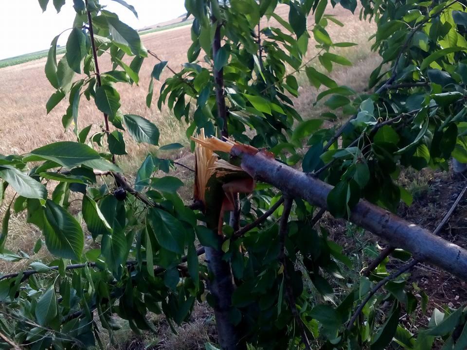 kozan.gr: Αρκούδα «κεράστηκε» κεράσια από χωράφι στα Κομνηνά Εορδαίας (Φωτογραφίες)