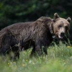 Νεκρή αρκούδα νεαρής ηλικίας εντοπίστηκε στην Εγνατία Οδό στον κόμβο Καλαμιάς Κοζάνης