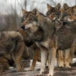 """Νέα αναφορά συμπολίτη μας, στο kozan.gr, για την εμφάνιση τριών (3) λύκων, ξημερώματα Κυριακής 20/10, κοντά στο παλιό κέντρο δεξιώσεων """"Λευκάδια"""", μεταξύ Αργίλου – Πρωτοχωρίου"""