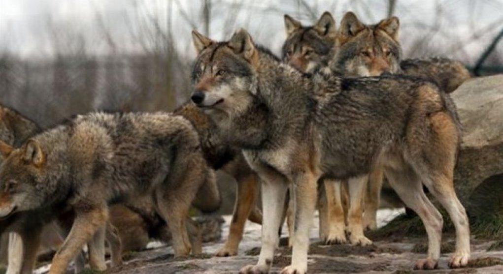 kozan.gr: Καλαμιά Κοζάνης: 4 λύκοι επιτέθηκαν σε αδέσποτα στο κέντρο του χωριού – Τι λέει αυτόπτης μάρτυρας