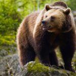 Εντοπισμός δυο αρκούδων νεαρής ηλικίας στο Φράγμα της Τ.Κ. Τριανταφυλλιάς Φλώρινας