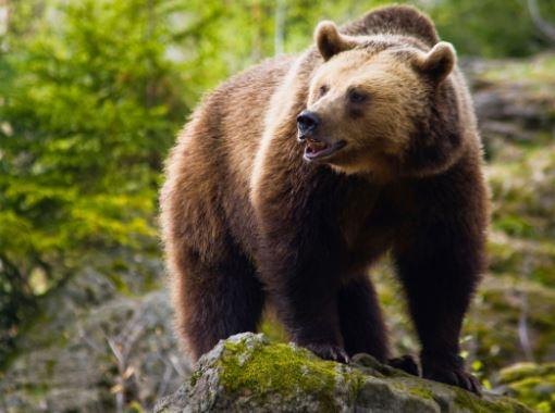 Νέο κρούσμα επίθεσης αρκούδας σε κοπάδι, 300 μέτρα έξω από το Δροσερό