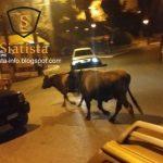 Σιάτιστα: Συνεχίζουν να «βόσκουν», σε κεντρικούς δρόμους, αγελάδες (Βίντεο)