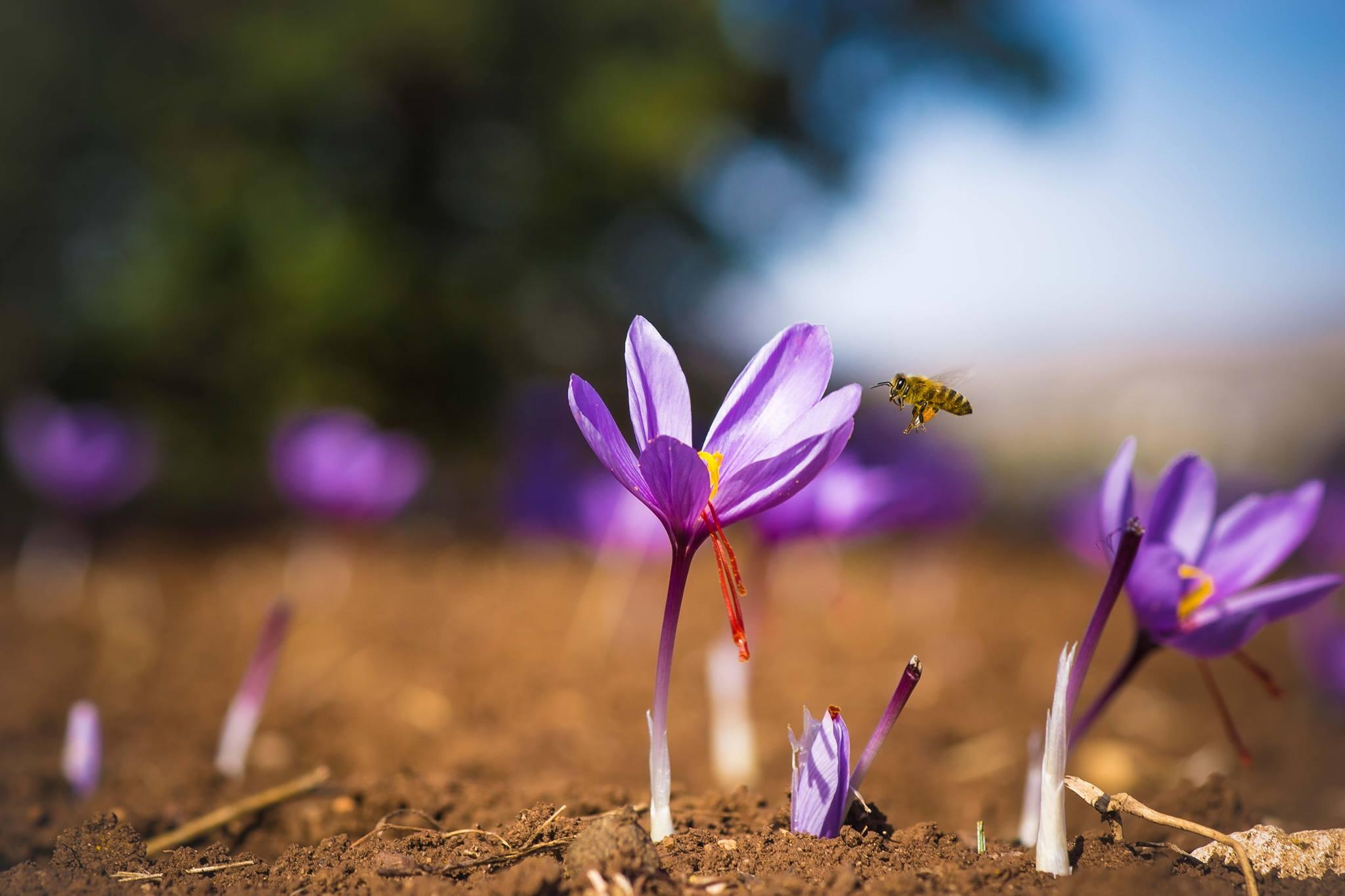 kozan.gr: Σημερινές φωτογραφίες, με το «χρυσάφι της ελληνικής γης», από κροκοχώραφα του δήμου Κοζάνης
