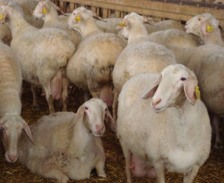 Αγγελία (Κατηγορία – Ζωικό κεφάλαιο): Πωλούνται 50 πρόβατα και 10 κριάρια – Περιοχή Σέρβια