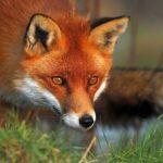 Τμήμα Κτηνιατρικής Κοζάνης: Συνεχίζεται η εκστρατεία εμβολιασμού των κόκκινων αλεπούδων κατά της Λύσσας