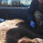 Εξέπνευσε κατά τη μεταφορά στη Θεσσαλονίκη αρκούδα  που τραυματίστηκε σε τροχαίο στην Τ.Κ. Αετού Αμυνταίου
