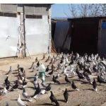 kozan.gr: Μαυροδένδρι: 300 περιστέρια στον αέρα (Bίντεο)
