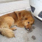 kozan.gr: Οι Εθελοντές Κυνοκομείου Πτολεμαΐδας καταγγέλουν το δήμο Εορδαίας για παράνομες περισυλλογές αδέσποτων σκύλων