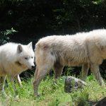 Μία αγέλη έξι λύκων από την Ιταλία στο Καταφύγιο του ΑΡΚΤΟΥΡΟΥ (Βίντεο)