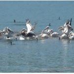 Αργυροπελεκάνοι και Κορμοράνοι στη Λίμνη Πολυφύτου (ανάντη γέφυρας Ρυμνίου) [βίντεο 4' – φωτογραφίες]