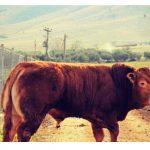 Φορέα για την πιστοποίηση της κόκκινης φυλής ζητούν οι κτηνοτρόφοι της Δυτικής Μακεδονίας