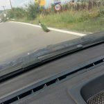 kozan.gr: Κοίλα Κοζάνης: Θέαμα για διερχόμενους οδηγούς ένα πανέμορφο παγώνι (Φωτογραφία & Βίντεο)