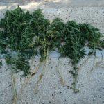 Συνελήφθη 60χρονος σε περιοχή της Φλώρινας για καλλιέργεια 12 δενδρυλλίων κάνναβης (Φωτογραφία)