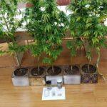 Συνελήφθη 43χρονος  σε περιοχή της Κοζάνης για καλλιέργεια 6 δενδρυλλίων κάνναβης (Φωτογραφίες)