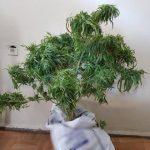 Συνελήφθη 45χρονος σε περιοχή των Γρεβενών για καλλιέργεια και κατοχή ναρκωτικών (Φωτογραφίες)
