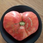 kozan.gr: Ντομάτα, βάρους 1,5 κιλού, σε σχήμα καρδιάς, σε μπαξέ στην Ελάτη του Δήμου Σερβίων-Βελβεντού (Φωτογραφία)