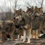 kozan.gr: Μαυροδένδρι Κοζάνης: Λύκοι κατασπάραξαν τρία πρόβατα