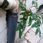 kozan.gr: Ντοματιά φύτρωσε σε λούκι κτηρίου στην Πτολεμαΐδα (Φωτογραφίες)