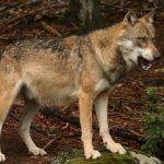 kozan.gr: Περιοχή (ΚΤΕΟ) Λευκόβρυση Κοζάνης: Βρήκε το σκύλο του κομματιασμένο – Πιστεύει ότι δέχτηκε επίθεση από λύκο