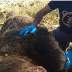 Ο ΑΡΚΤΟΥΡΟΣ για το τροχαίοστην Καστοριά, με θύμα αρκούδα 390 κιλών: «Είναι η μεγαλύτερη που έχει καταγραφεί ποτέ , καθώς συνήθως στην Ελλάδα το βάρος των ενήλικων αρσενικών φτάνει τα 250 κιλά»