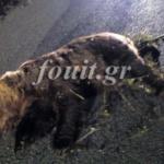 Καστοριά: Σοβαρό τροχαίο με τεράστια αρκούδα – Στο νοσοκομείο ο οδηγός, νεκρό το ζώο (Φωτογραφία)
