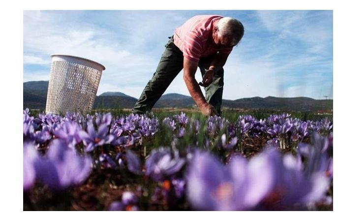 Πώς θα γίνει η συγκομιδή του κρόκου Κοζάνης; Εν αναμονή οδηγιών από Περιφέρεια κι ΕΟΔΥ (Ρεπορτάζ από agrovoice.gr)