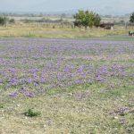 kozan.gr: Άνω Κώμη: Ξεκίνησε σιγά – σιγά, σε κάποια χωράφια, η συγκομιδή του Κρόκου Κοζάνης  (Βίντεο)