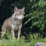 kozan.gr: Περιστατικά εμφάνισης λύκων στην Τ.Κ. Πενταβρύσου Εορδαίας, ακόμη και μέσα στο χωριό