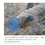 Δηλητηρίασαν και ακρωτηρίασαν έγκυο αρκούδα στο χωριό Πυλωρί Βοΐου- Κοζάνης