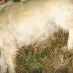 Εθελοντές Κυνοκομείου Πτολεμαίδας: ΝΕΚΡΑ ζωα βρέθηκαν χθες το πρωί στο χωριό Αρδασσα Εορδαίας
