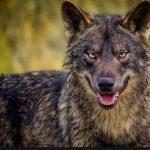kozan.gr: Πτολεμαΐδα: Την εμφάνιση λύκου στο δρόμο προς το Μποδοσάκειο αναφέρει αναγνώστρια του kozan.gr