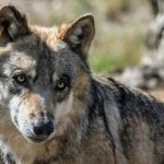 kozan.gr: Λύκοι κατασπάραξαν δεσποζόμενο σκύλο στην περιοχή της Παναγίας στην Κοζάνη
