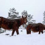 Άγρια άλογα αψηφούν τον χιονιά στα ορεινά της Σαμαρίνας – Τα ζώα δεν φαίνεται να πτοούνται από τη σφοδρή κακοκαιρία που πλήττει τον Σμόλικα