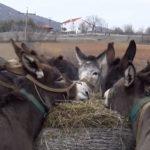 Η μονάδα εκτροφής και γαλακτοπαραγωγής με γαϊδουράκια στην Οινόη Κοζάνης (Βίντεο)