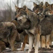 Αποκεντρωμένη Διοίκηση Ηπείρου – Δυτικής Μακεδονίας: Περιστατικά εμφάνισης λύκων στην πόλη της Φλώρινας