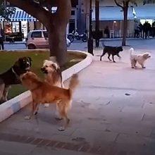 Παράπονο αναγνώστη του kozan.gr: Φόβος και τρόμος, για γονείς και παιδιά, οι σκυλοκαβγάδες αδεσπότων στην κεντρική πλατεία Αιανής (Βίντεο)