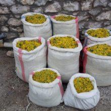 Σύλληψη 5 αλλοδαπών σε περιοχές του ορεινού όγκου της Καστοριάς για παράνομη συλλογή 182 κιλών αρωματικού-θεραπευτικού φυτού (Φωτογραφία)