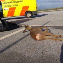 Τροχαίο ατύχημα με θύμα ζαρκάδι στον κάθετο άξονα Σιάτιστας-Κρυσταλλοπηγής στο ρεύμα προς Αλβανία (Φωτογραφία)