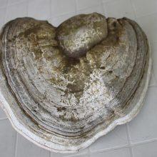 Υπερμεγέθης ίσκα-μανιτάρι, σε σχήμα καρδιάς, στην Ελάτη