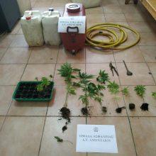 Συνελήφθη 48χρονος σε περιοχή της Φλώρινας για καλλιέργεια 16 δενδρυλλίων κάνναβης (Φωτογραφία)