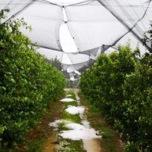 kozan.gr: Καταστροφή σε καλλιέργειες με κεράσια, λόγω χαλαζόπτωσης, στους Πύργους Εορδαίας (Βίντεο & Φωτογραφίες)
