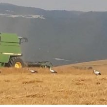 """Kουμπίνα (θεριζοαλωνιστική μηχανή), """"συνοδεία"""" κοπαδιού πελαργών, σε αγροτική περιοχή της Αιανής"""