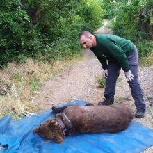 Ο ΑΡΚΤΟΥΡΟΣ έσωσε τον Ερμή από παράνομη παγίδα για αρκούδες